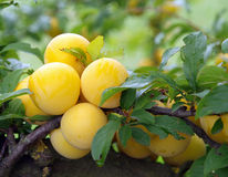 Ripe Yellow Plums Stock Photos