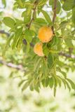 Close-up of yellow plums on branch in orchard in summer royalty free stock photos