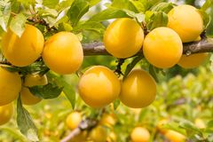 Ripe yellow plums on plum tree. Close-up of ripe yellow plums on plum tree with blurred background stock images
