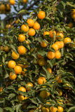 Ripe yellow plums on the tree. Fruit tree. Royalty Free Stock Images