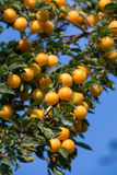 Ripe yellow plums on the tree. Fruit tree. Royalty Free Stock Photo