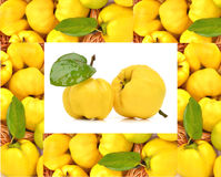 Ripe yellow quinces Royalty Free Stock Photo