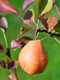Ripe yellow and red pear on tree Stock Image