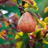 Ripe yellow and red pear on tree Stock Photography