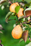 Ripe yellow and red pears on tree Stock Photos