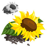 Ripe yellow sunflower with black seeds. Vector Stock Photography