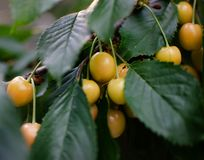 Ripe yellow sweet cherry stock photography