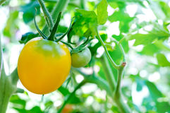 Ripe yellow tomatoes natural. Ripe yellow tomatoes in garden Royalty Free Stock Photo