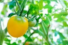Ripe yellow tomatoes natural Royalty Free Stock Photo