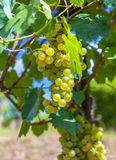 Ripe, yellow vine closeup, against the background of the vineyard. Yellow grapes with green leaves on the vine royalty free stock photography