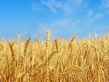 Ripe yellow wheat ears on field. Stock Photography