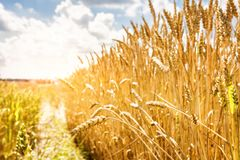 Ripe yellow wheat on a golden field against a blue sky with clouds. Harvest of wheat. Harvesting of grain crops. Stock Photos