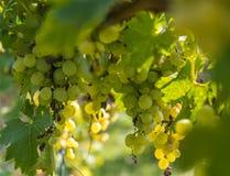 Yellow Wine Grape Stock Image