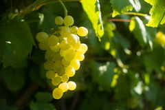 Ripe yellow wine grape in the vineyard Stock Photo