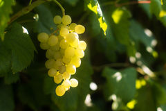 Ripe yellow wine grape in the vineyard. Italian moscato wine grape lighted by the sun Stock Photos
