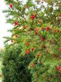 Ripe yew tree berries Stock Photography