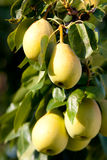 Ripe Young Pears In Branch Stock Photo