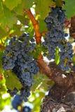 Ripe Znfandel grape clusters on gnarled grape vine stock photography
