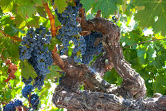 Ripe Znfandel grape clusters on gnarled grape vine. Ripe Zinfandel grape clusters ready for harvest on a gnarled old grape vine, with sunlight filtering through Stock Photos