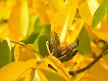riped核桃和在树的浅焦点黄色秋叶的详细的图片与开放绿色皮肤的在庭院里 库存图片