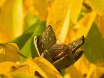 riped核桃和在树的浅焦点黄色秋叶的详细的图片与开放绿色皮肤的在庭院里 免版税库存照片