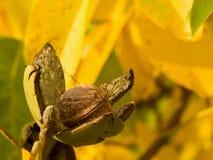 riped核桃和在树的浅焦点黄色秋叶的详细的图片与开放绿色皮肤的在庭院里 库存照片