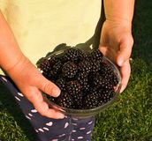 Riped blackberries Stock Photo