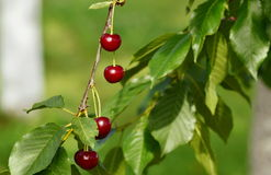 Riped cherry. Riped red  cherry on green tvig Royalty Free Stock Photos