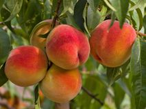 Riped juicy peaches on the tree just before harvest Royalty Free Stock Photography