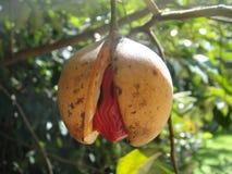 Riped nutmeg fruit Stock Photos