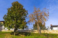 Riped orange Persimmon Kaki fruits on a tree Royalty Free Stock Images