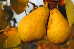 Riped pears on a branch Royalty Free Stock Images