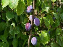 Riped plums on the tree Royalty Free Stock Photography