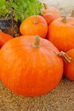 Riped pumpkin Royalty Free Stock Photo
