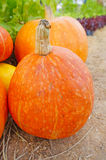 Riped pumpkin Stock Image