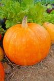 Riped pumpkin Stock Photography