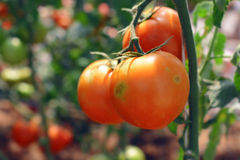 riped red tomato on branches Stock Photos