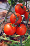 riped red tomato on branches Stock Images