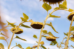 Riped sunflowers in the field Royalty Free Stock Photography