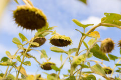 Riped sunflowers in the field Royalty Free Stock Images