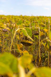 Riped sunflowers in the field Royalty Free Stock Photo