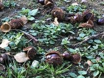Ripedkastanjes in gras stock afbeeldingen