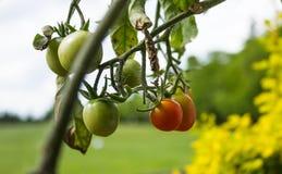 ripeing在藤的蕃茄 库存照片