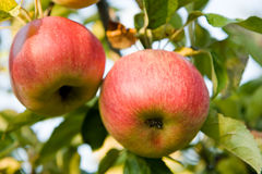 Ripen apple on the tree Royalty Free Stock Images