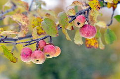 Ripen apples on branch in fall Royalty Free Stock Photography