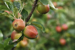 Ripen apples on tree in nature Stock Photos