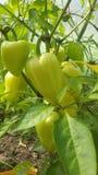 So ripen bell pepper Stock Images