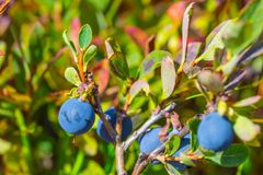 Ripen blueberry bush with berries Stock Photos