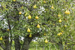 Ripen Bosc Pears in an Orchard Stock Photos