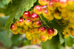 Ripen bunches of berries Stock Photo